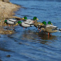 Avery GHG FFD Elite FB Mallards/Harvester Decoys (Pk/6) thumbnail